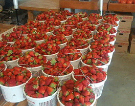 buckets of strawberries
