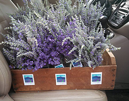 Wooden box containing lavendar plants