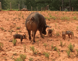 pig and babies
